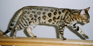 The Bengal Cat A Beautiful Breed Sure To Find A Spot In