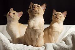Burmese kittens photo by fenlandsnapper