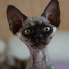 Devon_Rex_Flickr_Photo_sm_by_peter_hasselbom