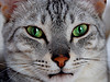 Egyptian_Mau_Flickr_Photo_sm_By_randy50