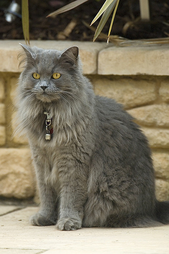 british longhair cat the cheshire cat with an angora coat