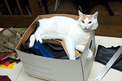 Japanese_Bobtail_Flickr_Photo_by_Adam_A