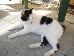 Japanese_Bobtail_Flickr_Photo_by_SysAnd