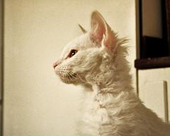 LaPerm_Flickr_Photo_by_fotopologi