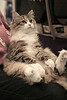 Norwegian_Forest_Cat_Flickr_Photo_sm_From_CRYROLFE