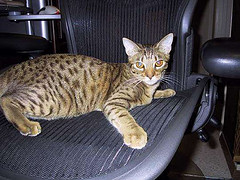 Ocicat_Flickr_Photo_by_pouryourheartintoit