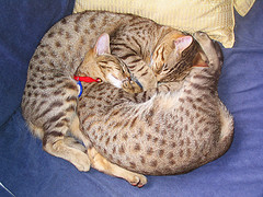 Ocicat_Flickr_Photo_by_seahauckland