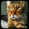 Ocicat_Flickr_Photo_sm_From_valcox