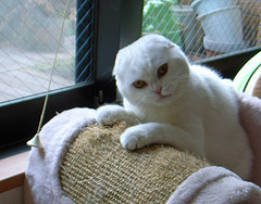 Scottish_Fold_Flickr_photo_by_tata_aka_T