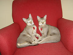 Singapura_cats_Flickr_Photo_by_doctordoodad