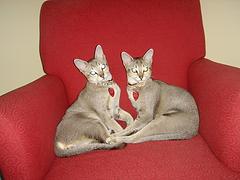 Singapura_cats_Flickr_Photo_by_doctordoodad