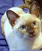 Tonkinese_Flickr_Photo_sm_by_MarianneG2007