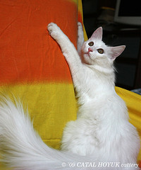 Turkish_Angora_Flickr_Photo_2_by_woo_is_not_a_china_girl