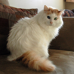 Turkish_Van_Flickr_Photo_by_antimatter347