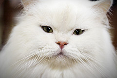White-British-Longhair-2-by-Fofurasfelinas