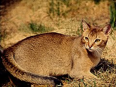 The Abyssinnian cat  is one of the most loyal of all the cat breeds