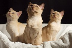 Burmese kittens photo by fenlandsnapper