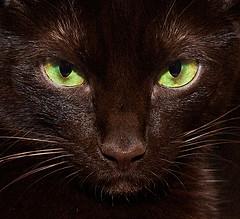 havana_brown_flickr_photo_by_jlmphoto