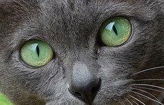 Korat_Eyes_Flickr_Photo_by_dr_power