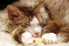 LaPerm_Flickr_Photo_by_unplain-Jane