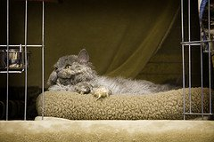 Longhair_Selkirk_Rex_Flickr_Photo_by_rockmixer