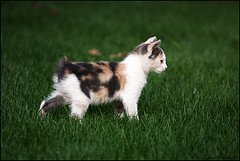 Manx_Kitten_Flickr_Photo_by_francesco.ita