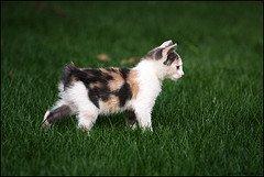 Manx_Kitten_Flickr_Photo_by_francesco.ita