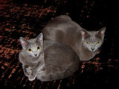 Russian_blue_Flickr_Photo_by_toddneville