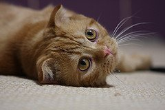 Scottish_fold_flickr_Photo_by-Arthur_Ivanov