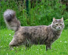Turkish_Angora_Flickr_Photo_by_twin-otter64