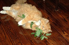 ginfer-with-fresh-catnip-by-iLoveButter