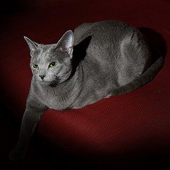 russian_blue_Flickr_photo_by_cotaroba
